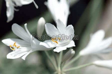 agapanthus flower in the botanical garden