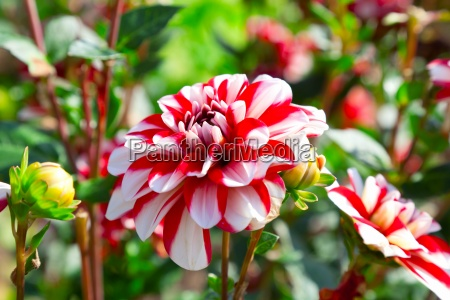 red dahlia flower in the garden