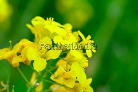 colza brassica rapa fiore di colza