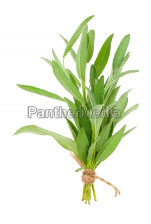 green leaves of sage isolated on