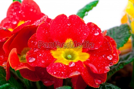 red flowering potted plants primrose