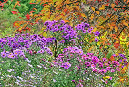 late asters under colorful autumn leaves