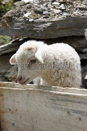 lamm auf einer farm in swanetien