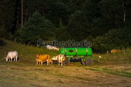 cow herd on pasture