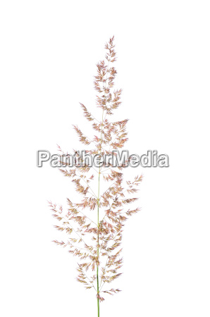 wald reitgras calamagrostis arundinacea