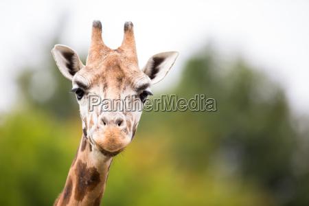 giraffe giraffa camelopardali