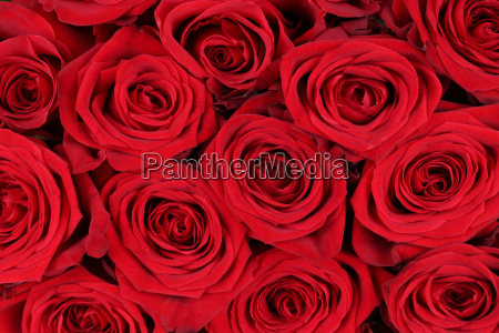 hintergrund rote rosen zum valentinstag oder