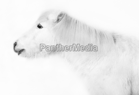 white pony in front of white