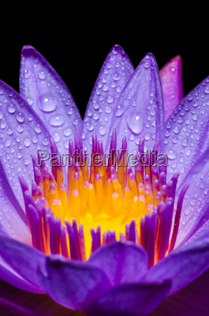 makro, gelb, carpel, von, lila, lotusblume - 13351072