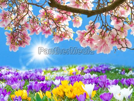 krokusse und magnolienbau im fruehling