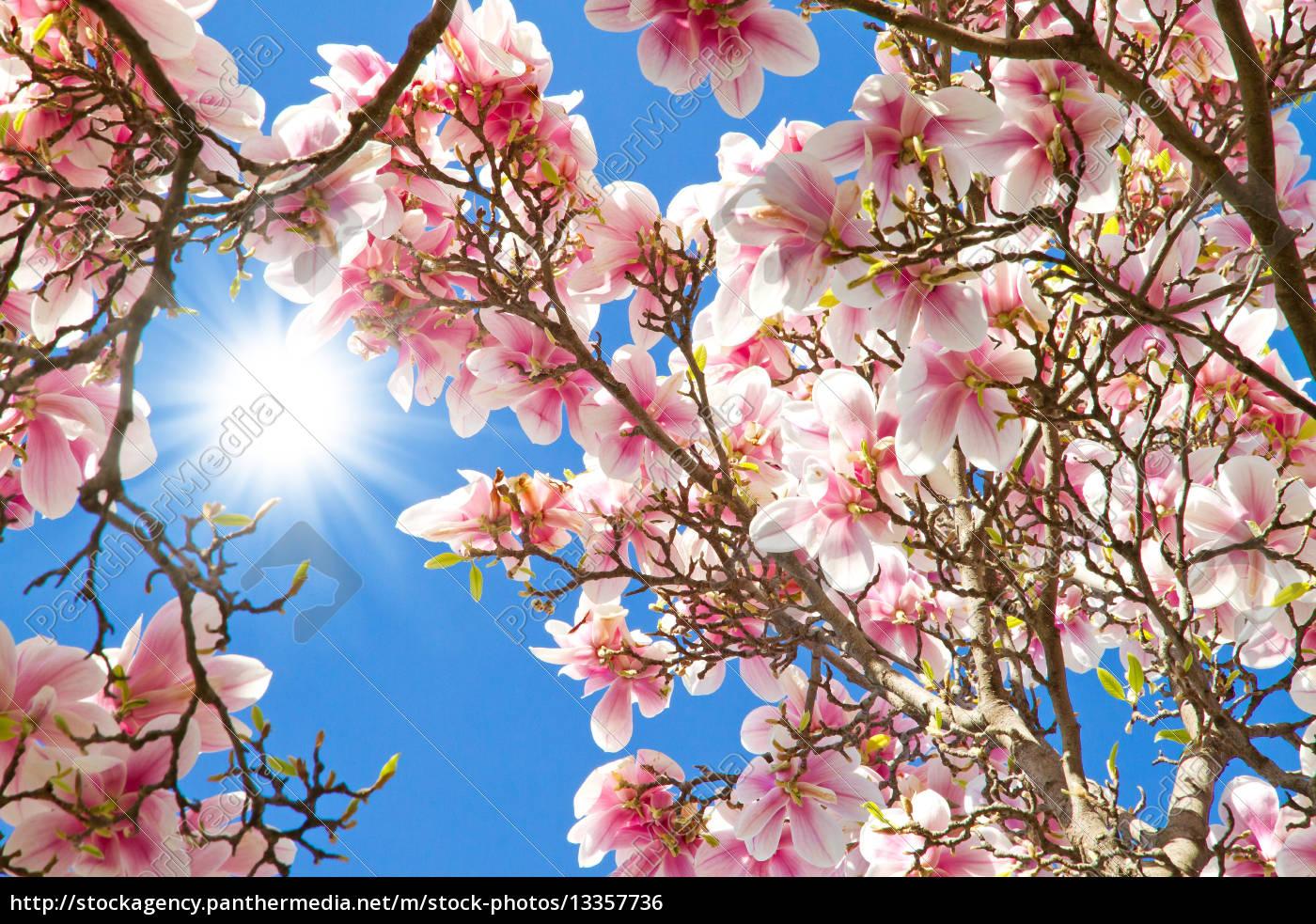magnolienbaum im fr hling lizenzfreies foto 13357736. Black Bedroom Furniture Sets. Home Design Ideas