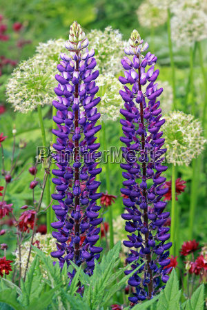 two blue lupins in the perennial
