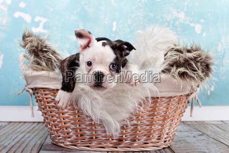 kleiner welpe im korb franzoesische bulldogge