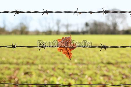 eichenblatt auf scharfen stacheldraht gefangen