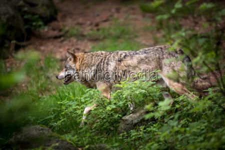 grau eurasian wolf canis lupus