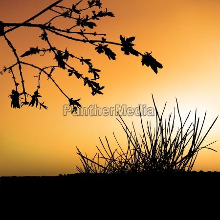 sunset and shrub silhouette