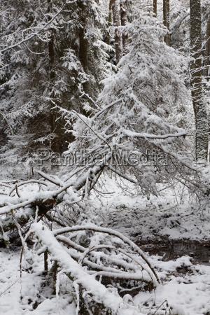 winterlandschaft des naturwaldes mit toten fichten