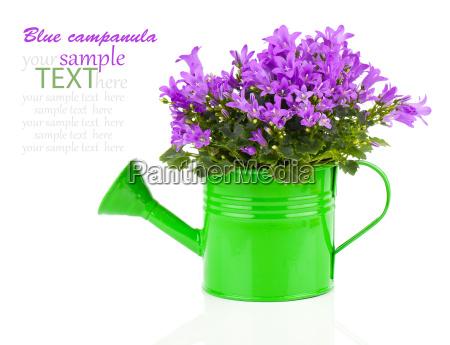 bluebell flower in a green watering