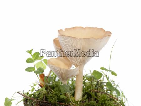 hygrophoropsis aurantiaca