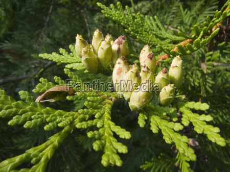fruits of cypress