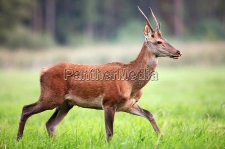 red deer in the wild