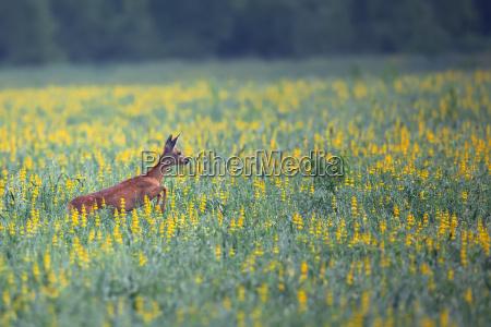roe deer on the run in