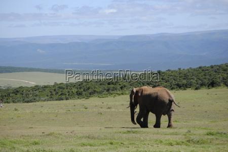 suedafrikanischer elefantenbulle auf wanderung