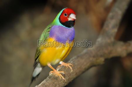 farbenpraechtiger exotischer fink
