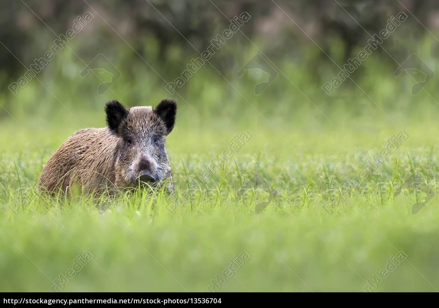 wildschweine, auf, der, lichtung - 13536704