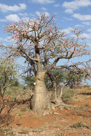 wuestenrose AEthiopien afrika
