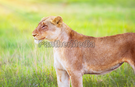 south african wild loewin
