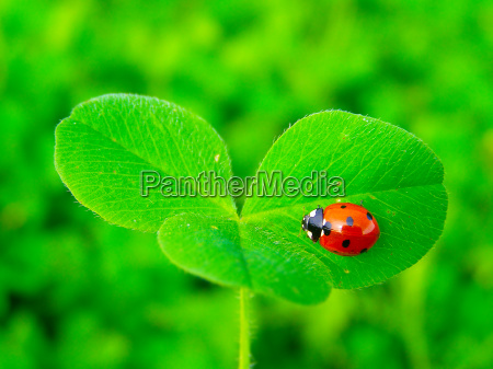 ein, marienkäfer, auf, einem, grünen, kleeblatt - 13554634