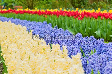 multicolored hyacinth flowerbed spring flower park