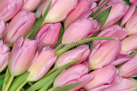 hintergrund aus tulpen blumen zum fruehling