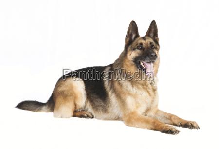 shepherd dog lying