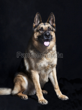 shepherd portrait sitting