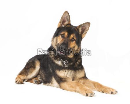 izolowane schaeferhund