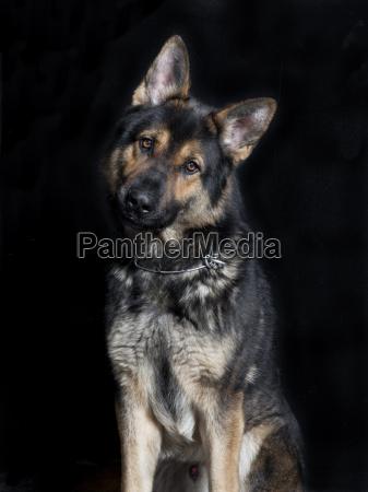 shepherd dog looks at the camera