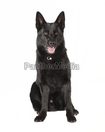 black german shepherd looking at the