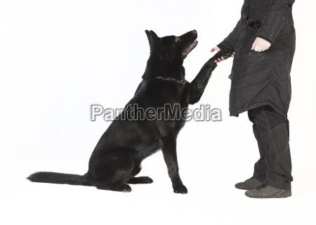 shepherds paw