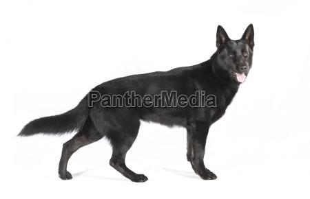schwarzer schaeferhund auf weissem grund