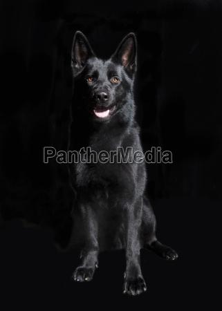 black german shepherd sitting