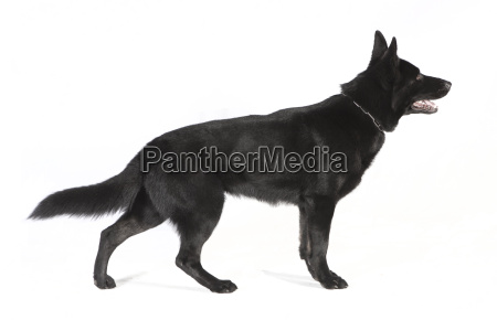 black sheepdog from the side