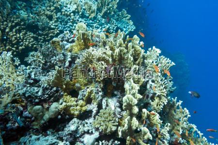 korallenriff mit hartkorallen auf dem grund