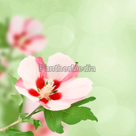 hibiscus flower on the bush