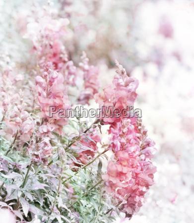 pink snapdragons watercolor