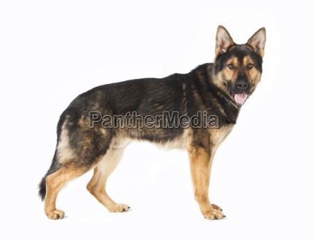 standing schaeferhund