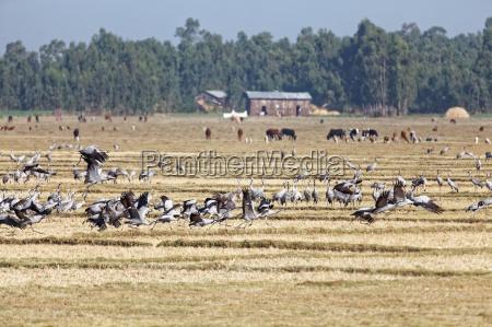 kraniche sammeln sich in AEthiopien
