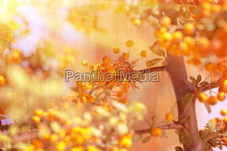 beautiful rowanberry background