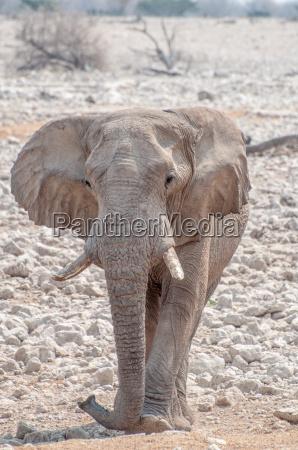 saeugetier elefant elfenbein stosszaehne ohren wildlife